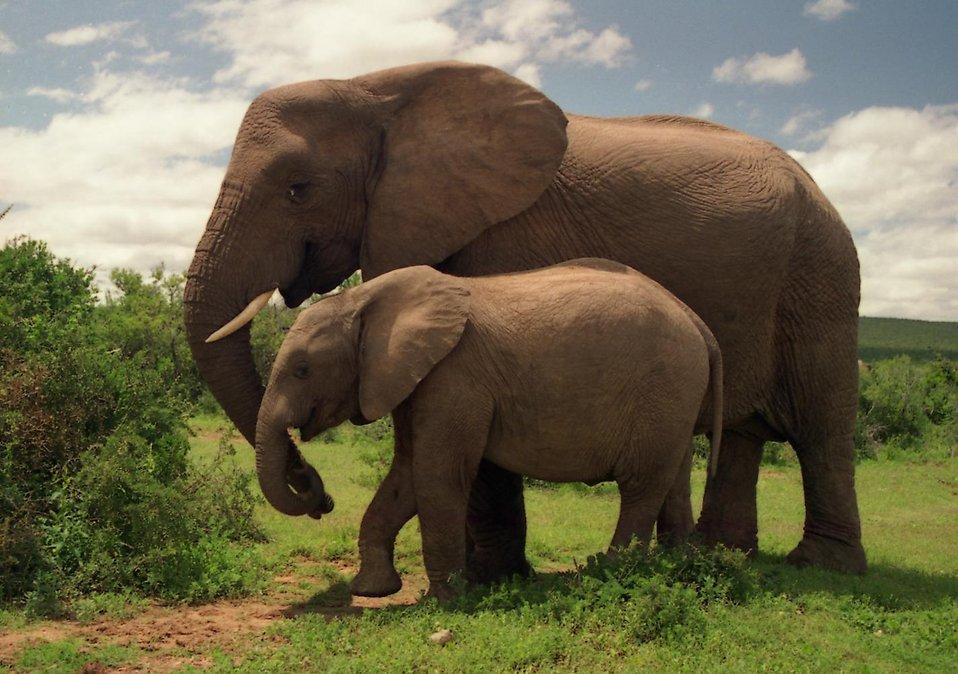 Elephantwithacalf